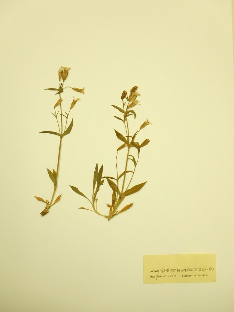 寄贈された標本のひとつ(アオモリマンテマ)